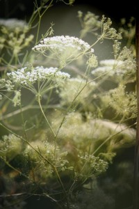 queen anne's lace. | Fairytales