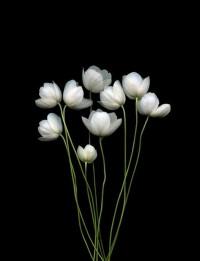 Simply beautiful. / Anemone canadensis