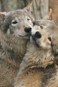 There is no place like home. North Western Ontario and Northern Minnesota / wolves mate for life
