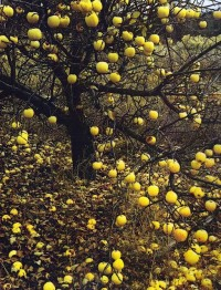 ??T??N?L ? ?Q?IN?? / Golden Apples