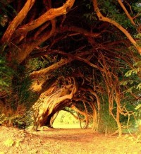 Trees / 1000 Year Old Yew Tree, West Wales photo via kimberly
