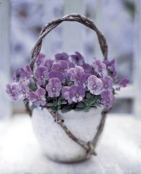 Violet | * Pretty Flowers *