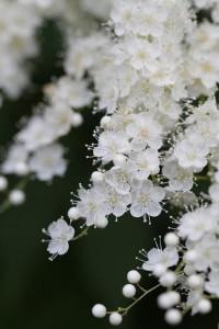 Whiteout / White blooms