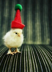 Winter & Christmas ? / seriously chickens love hats! | Flickr - Photo Sharing!