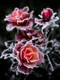 Winter Worlds / winter roses
