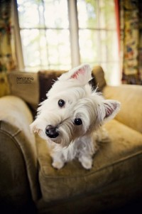 YON BONNIE HEILAND HEART / West Highland Terrier